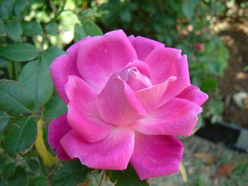 hình ảnh hoa Hoa Rosa rugosa