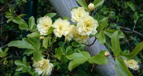 hình ảnh hoa Rosa banksiae