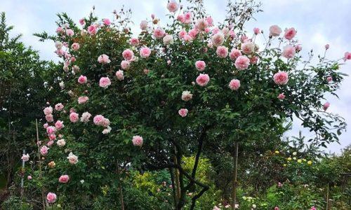 hình ảnh hoa hồng đào cổ