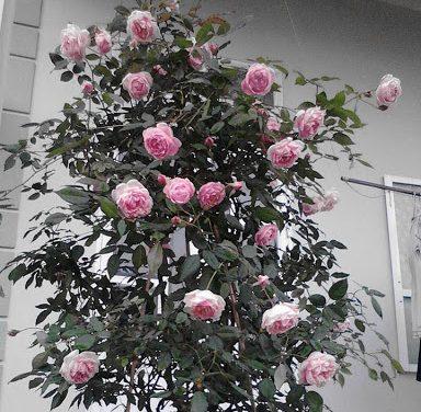 hình ảnh hoa hồng điều cổ