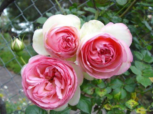 hình ảnh hoa hồng Pierre de Ronsard