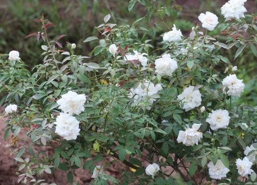 hình ảnh hoa hồng bạch xếp nam định
