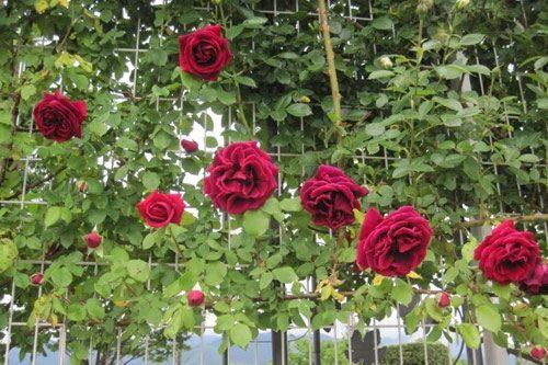hình ảnh hoa hồng cổ leo hải phòng