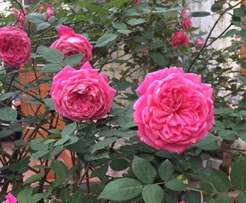 hình ảnh hoa hồng cổ sapa
