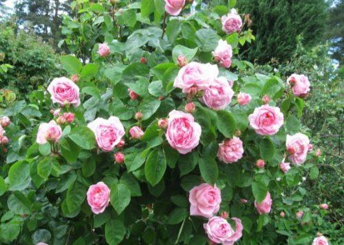 hình ảnh hoa hồng leo Constance Spry