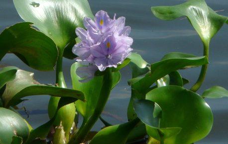 bông hoa bèo tây lục bình