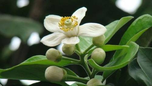 hình ảnh hoa bưởi