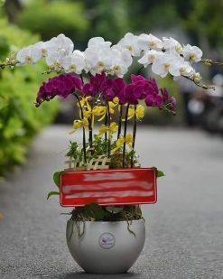 hoa lan hồ điệp 05