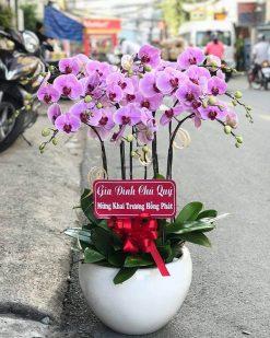 hoa lan hồ điệp 12