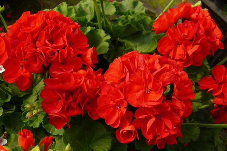 ý nghĩa hoa phong lữ