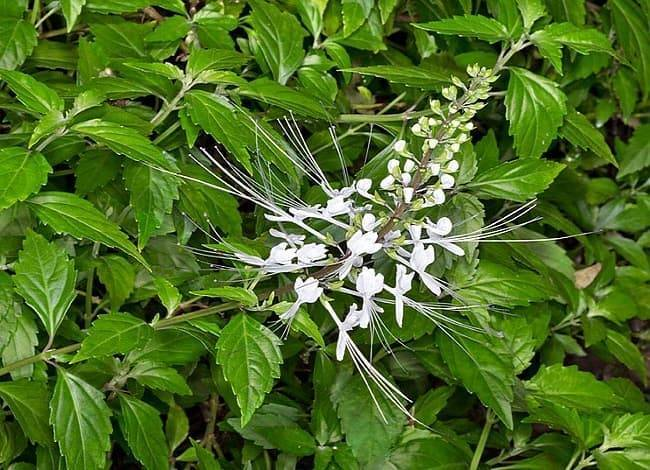đặc điểm cây hoa râu mèo