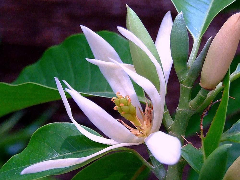 đặc điểm hoa ngọc lan