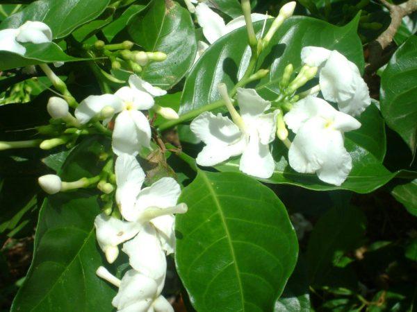 đặc điểm hoa nhài
