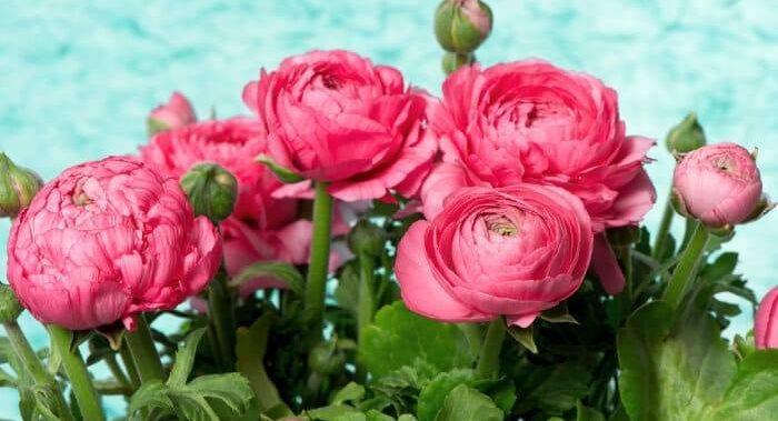 bông hoa mao lương