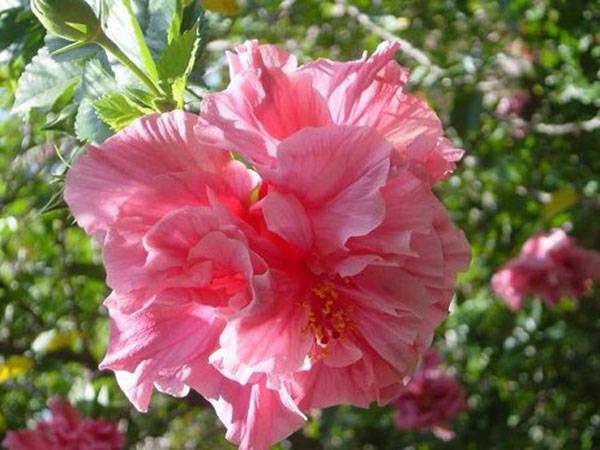 hình ảnh hoa dâm bụt hồng