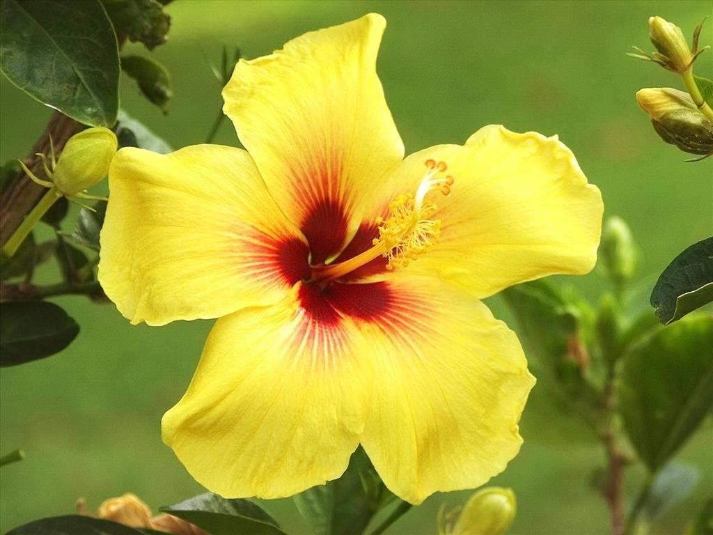 hình ảnh hoa dâm bụt vàng