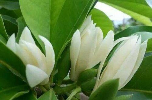 hình ảnh hoa ngọc lan