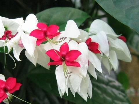 hình ảnh hoa ngọc nữ