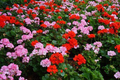 hình ảnh hoa phong lữ thảo