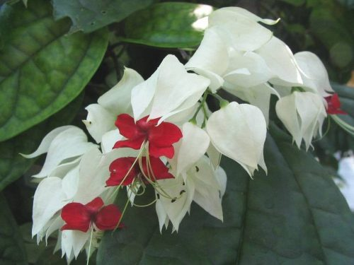hoa ngọc nữ