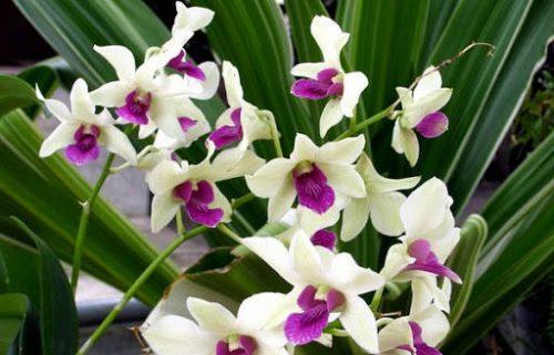 Công dụng hoa lan Dendro