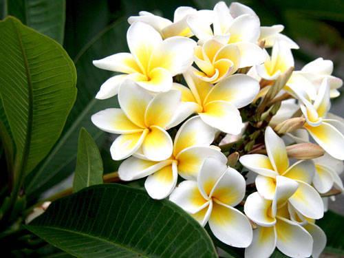Đặc điểm của hoa sứ