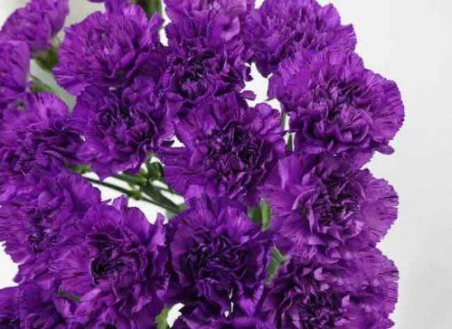 hình ảnh hoa cẩm chướng tím