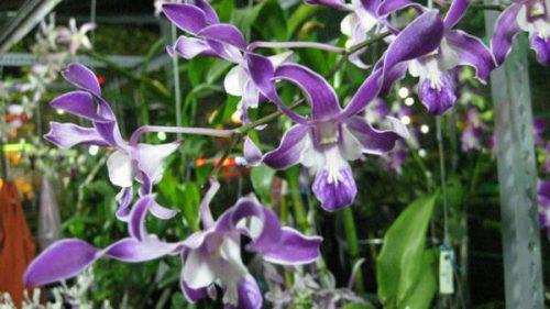 hình ảnh hoa lan DenDro