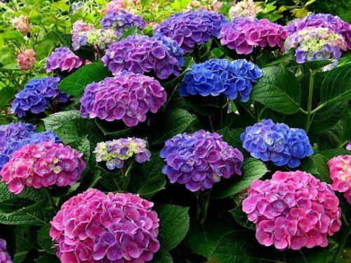 Hình ảnh hoa cẩm tú cầu tím