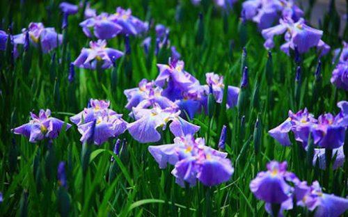 hình ảnh hoa diên dĩ tím