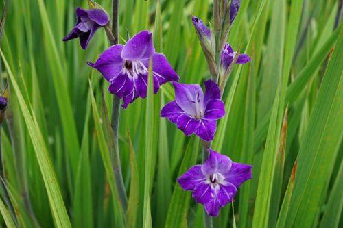 Hình ảnh hoa lay ơn tím