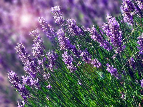 Hình ảnh hoa oải hương tím