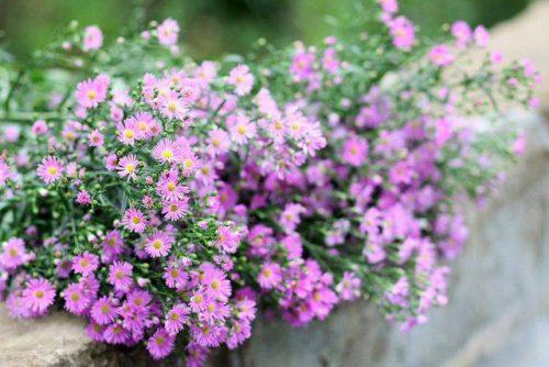 Hình ảnh hoa thạch thảo tím
