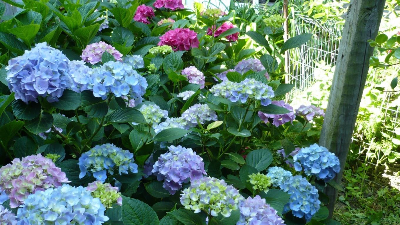 Hình ảnh hoa cẩm tú cầu tại Đà Lạt