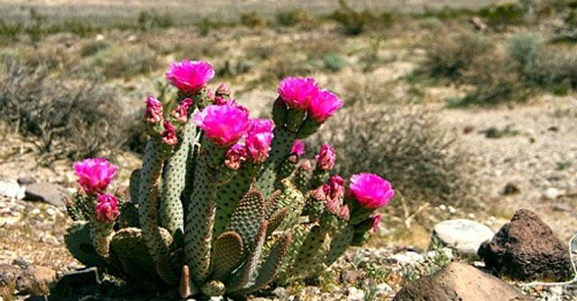 Ảnh hoa xương rồng trên xa mạc