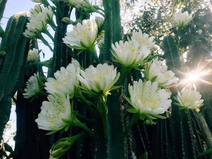 Cây hoa xương rồng