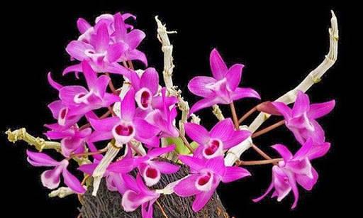 đặc điểm hoa lan tím