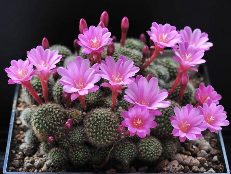 hình ảnh đẹp của hoa xương rồng