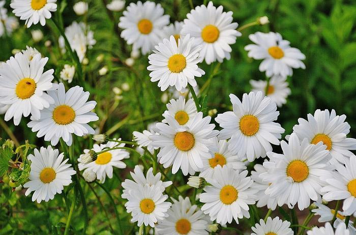hình ảnh hoa cúc Đà Lạt