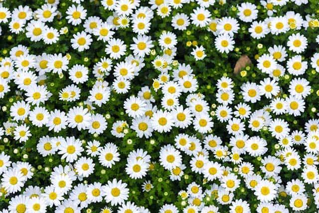 hình ảnh hoa cúc họa mi trắng