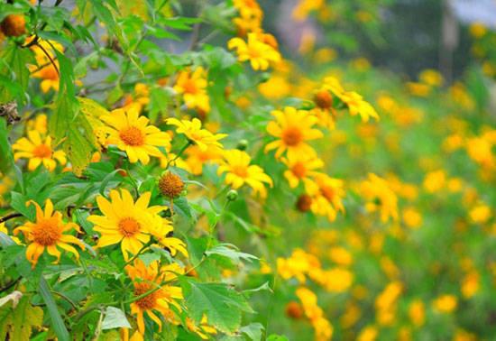 Hình ảnh hoa dã quỳ