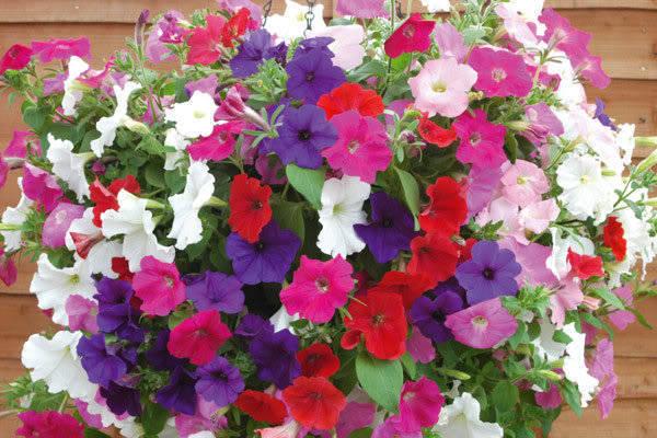 Hình ảnh hoa dạ yến thảo