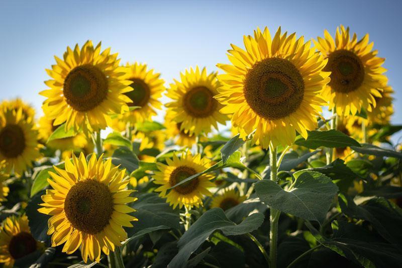 hình ảnh hoa hướng dương ở Đà Lạt
