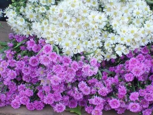 Hình ảnh hoa thạch thảo