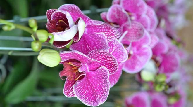 ý nghĩa hoa lan tím