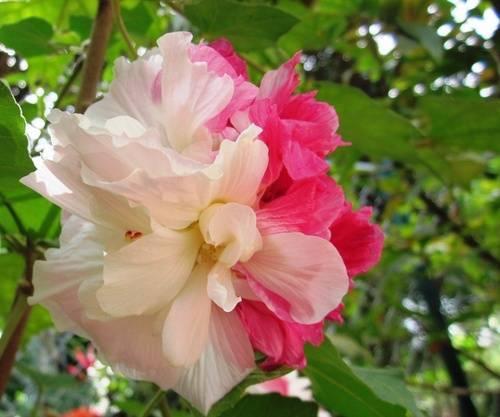 Hình ảnh đẹp hoa Phù Dung