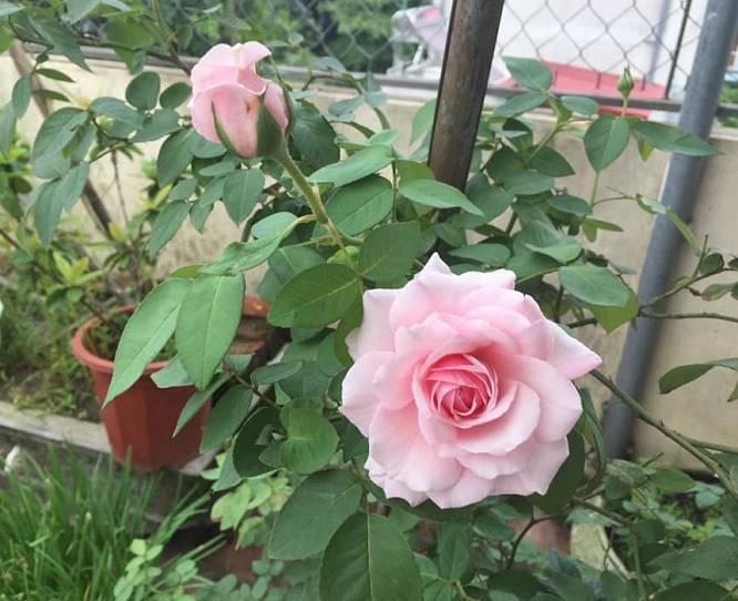 Hình ảnh hoa Hồng Cổ Vân Khôi